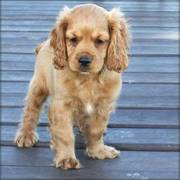 11 weeks old Cocker Spaniel puppies for sale