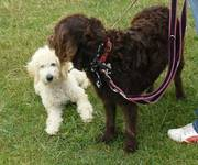 F2 cream Labradoodle 6mths newhome needed