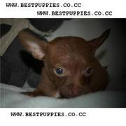 Coco,  is an andorable little male PUPPY - completly chocolate