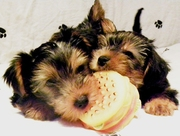 PEDIGREE YORKSHIRE TERRIER PUPPIES FOR SALE £350 ONO